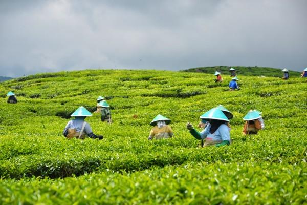 Pekerjaa perkebunan teh di dataran tinggi